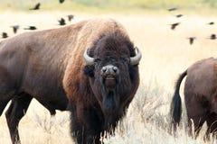 Bizon w Yellowstone Obraz Royalty Free