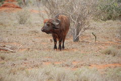 bizon woda Obrazy Stock