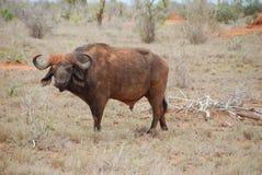 bizon woda Obraz Stock