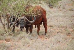 bizon woda Fotografia Stock