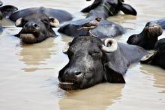 bizon woda Fotografia Royalty Free