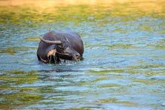 bizon woda Zdjęcie Stock