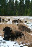 Bizon in Yellowstone Royalty-vrije Stock Fotografie