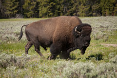 Bizon of Yellowstone Stock Foto's