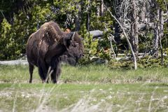 Bizon in yellowstone nationaal park Stock Afbeeldingen