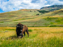 Bizon in yellowstone nationaal park Royalty-vrije Stock Afbeelding