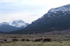 Bizon z Niewygładzonymi górami Zdjęcie Royalty Free