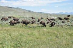 Bizonkudde in Lamar Valley Yellowstone National Park royalty-vrije stock foto's