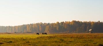 Bizons die Bialowieza-weide weiden bij zonsopgang royalty-vrije stock afbeelding