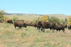 Bizonu bieg, Custer, Południowy Dakota zdjęcia royalty free