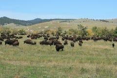 Bizonu bieg, Custer, Południowy Dakota fotografia royalty free