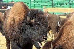 Bizonu bieg, Custer, Południowy Dakota zdjęcie stock