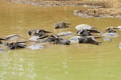 bizonu grupy woda Fotografia Stock