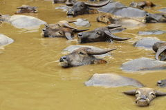 bizonu grupy woda Fotografia Royalty Free