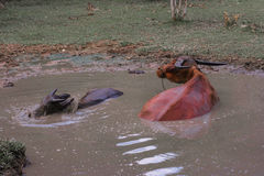 Bizonu namoku woda z błotem Zdjęcia Stock