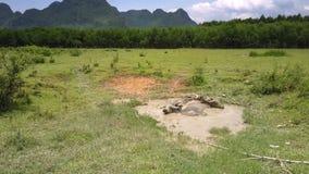 Bizony kąpać w kałuży na polu przeciw lasowemu górnemu widokowi zbiory wideo