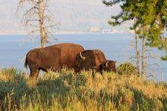 Bizony, żubry w wysokiej trawie w Yellowstone parku narodowym/ Fotografia Royalty Free