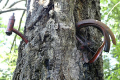 Bizzare bike. This tree actually grew around the bike over many years royalty free stock image