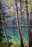 Björk Forest Lake Arkivfoto