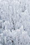 björk fryst tree Royaltyfri Bild