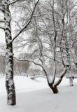 Björk i Park som täckas med snö Royaltyfri Bild