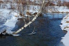 Björk nära floden Arkivfoton