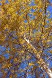 Björk och himlen Arkivfoto