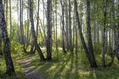 Björk och pinjeskog för höstskog blandad med strålar av solen royaltyfri bild