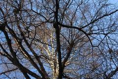 Björk på bakgrund för blå himmel Arkivfoton