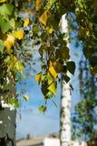 Björk på hösten Ändring av säsongen av året Royaltyfri Fotografi
