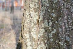 Björk utan lövverk Skog av björkar utan sidor Skog för höstskogvår Arkivfoton