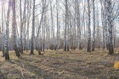 Björk utan lövverk Skog av björkar utan sidor Skog för höstskogvår Arkivfoto