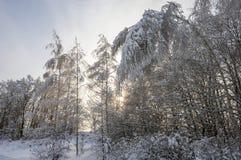Björkar böjde under vikten av snö arkivfoto