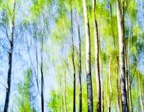 Björkar gör sammandrag i vårfärger Arkivfoto