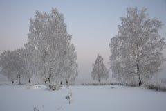 Björkar i frost på en snöig glänta Royaltyfria Foton