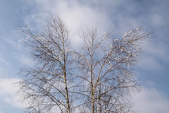 Björkar i vinter Arkivbild
