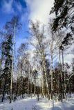 Björkar och sörjer i ett Forest Park på en frostig dag för solig vinter mot en blå himmel Ryssland arkivbild