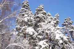 Björkar och sörjer träd i skogen efter ett snöfall i vinter Arkivfoto