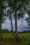 Björkar på kanten av fältet i byn Fotoet togs i Lettland fotografering för bildbyråer