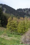 Björkdunge i bergen Arkivfoto