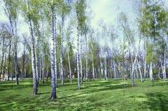 Björkdungen stadspark långt En ljus solig dag Stammarna av träden Fotografering för Bildbyråer