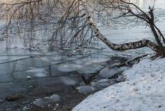 Björken lutade på dammet till is i November Royaltyfria Bilder
