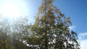Björken med gulnade höstsidor skakar vind och solskenen stock video