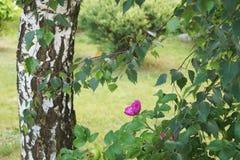 Björken och rosa löst steg Royaltyfri Foto