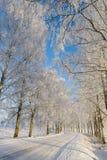 björken räknade frosttreen Arkivbild