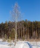 Björken som täckas med skogen för rimfrost- och banavinterdagen, kantar arkivbilder
