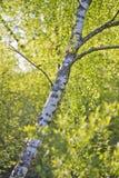 Björken spricker ut i skogen med sommarsolen Royaltyfri Foto