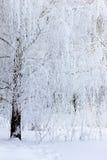 Björkfilialer som täckas med frost och snö Royaltyfri Fotografi