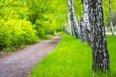 Björkgränden som omges av ett ungt gräs parkerar in Arkivbilder