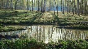 Björklandskap som reflekterar i vattnet arkivfoto